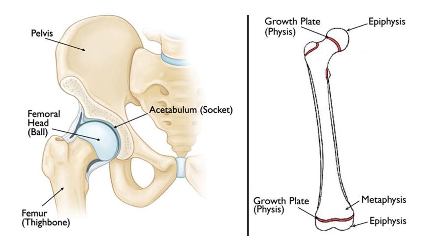 SCFE Anatomy
